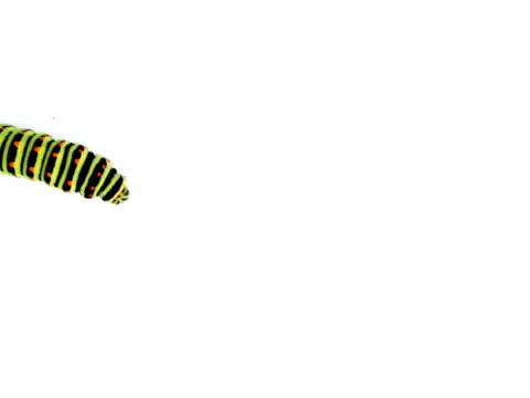 PAL: Swallowtail caterpillar