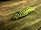 PAL: Swallowtail caterpillar