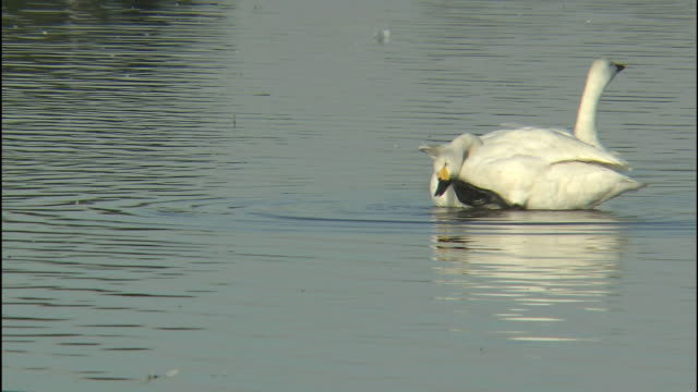 A  swan uses its webbed foot to scratch its face as another swan floats nearby.