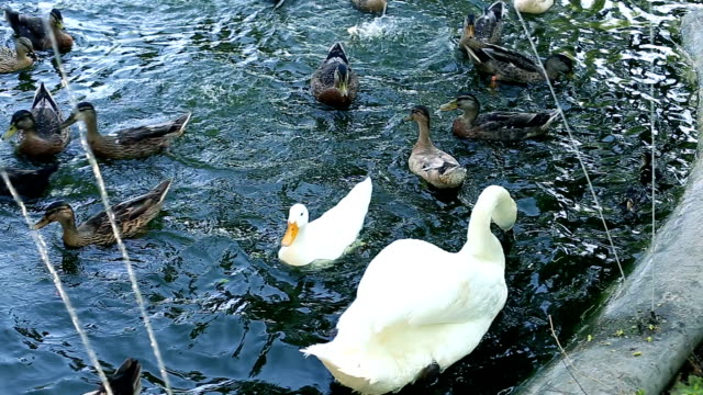 Swans and duck in pond