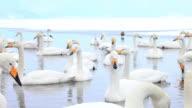 MS PAN Swans at Lake Akan in Akan National Park / Teshikaga, Japan