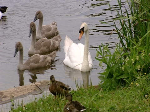Swans on river with cygnets, relaxation