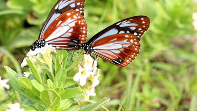 A swarm of about 1000 chestnut tiger butterflies fly around tiny white wild flowers enchanting sightseers in Himeshima Oita Prefecture on May 25...
