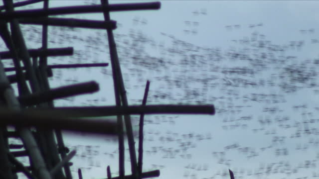 MS R/F Swarm of bats flying in sky / Battambang, Cambodia