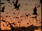 Swarm of Flying Foxes at sunset, Australia