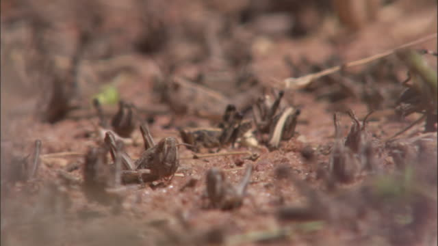 A swarm of locusts crawls on the ground.