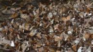 CU Swarm of Monarch Butterflies (Danaus plexippus) / Angangueo, Michoacan, Mexico