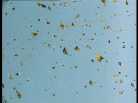 Swarm of monarch butterflies fly in blue sky