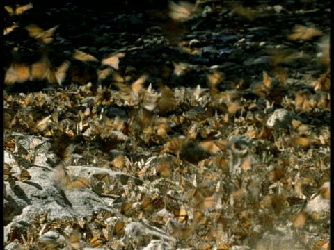Swarm of monarch butterflies on stream, others in flight, Mexico