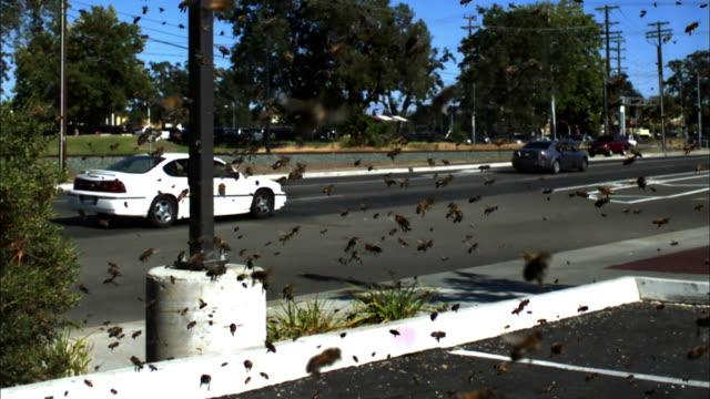 Swarming honey bees in car park, Sacramento, USA.
