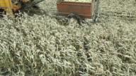 Sweet Corn Harvester and Dump Cart