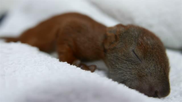 Sweet little baby squirrel sleeps.