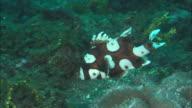 Sweetlips, juvenile, swimming, Indonesia