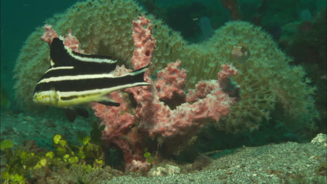 Sweetlips, juvenile with toby, in front of pink coral and anemone, Indonesia
