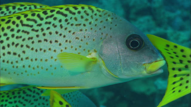 Sweetlips solo fish Egypt Red Sea