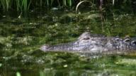 Swimming Alligator