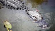 Swimming Alligators