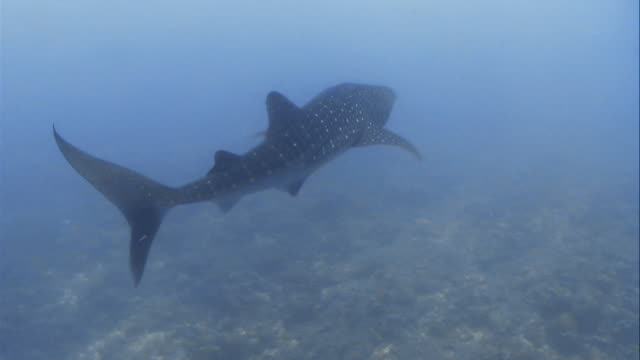 Swimming behind a whale shark in the Maldives