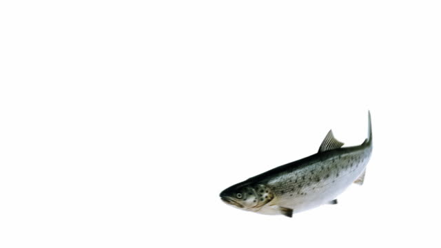 swimming salmon
