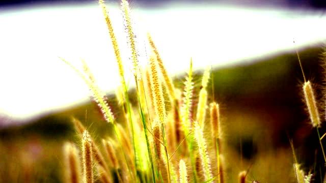 Swinging grass flower on sunrise