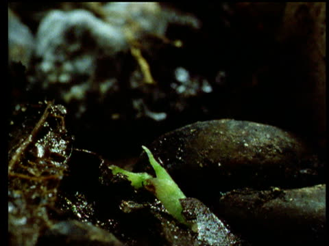 Swiss cheese plant seedling germinates on forest floor.