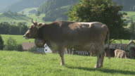 MS Swiss milk cow ruminant with traditional and typical cow bell / Appenzell, Appenzell Innerhoden, Switzerland