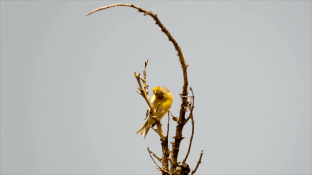 Syrian serin (Serinus syriacus),singing on a tree