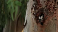 Syrian Woodpecker (Dendrocopos syriacus) feeding chicks in the nest, Eucalyptus tree