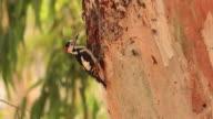 Syrian Woodpecker (Dendrocopos syriacus) feeding chicks in the nest