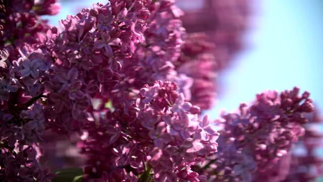 Syringa. Spring purple flowers. Lilac bokeh.