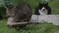 A tabby cat and a black and white cat appearing cold as they sit in the cold wind, Ainoshima, Fukuoka, Japan