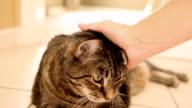 Getigerte Katze Haustier Katze sich