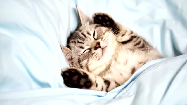 tabby kitten sleeping under quilt cover
