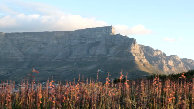 Table Mountain at early sunset with pink flowers in foreground, Cape Town, South Africa