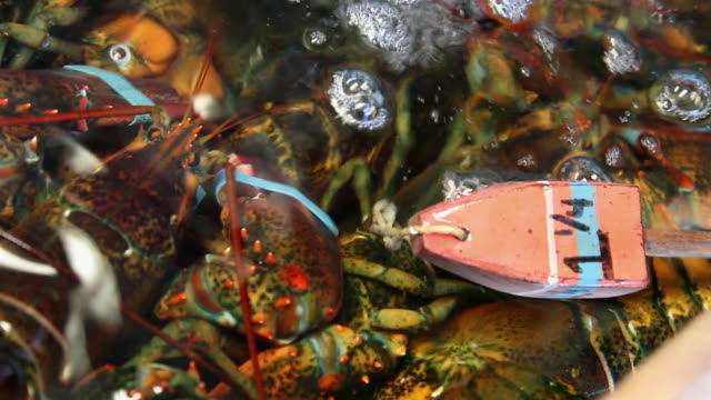 A tag floats on a lobster's claw in a tank. Available in HD.