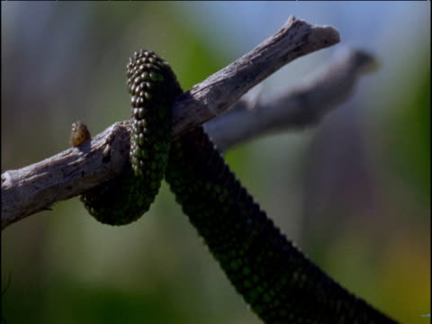 Tail of Parson's chameleon coiled around twig, South Africa