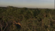A tall baobab trees tower over the rest of a forest. Available in HD.