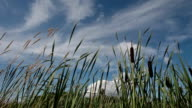 POV of tall cattails blowing in wind with sun flares.