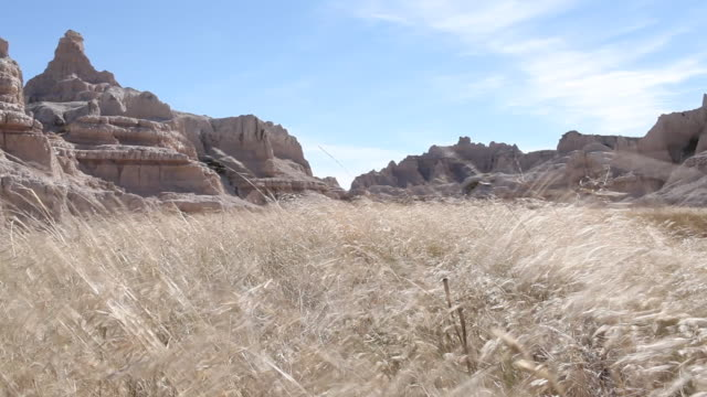 Tall grass blowing in the wind at Badlands National Park.