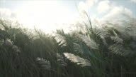 Tall grass flowing in the wind