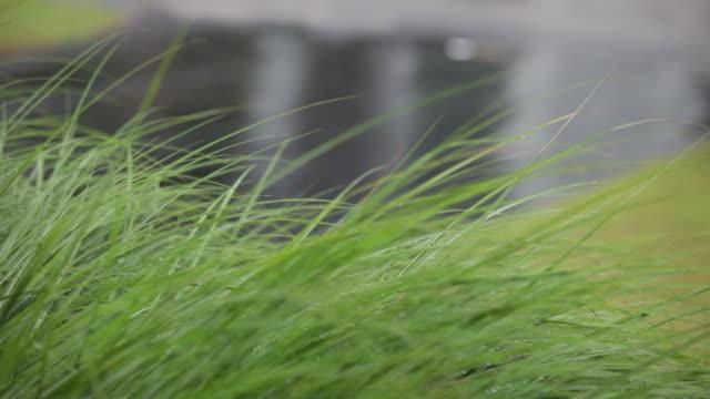 Tall Grass in Rain