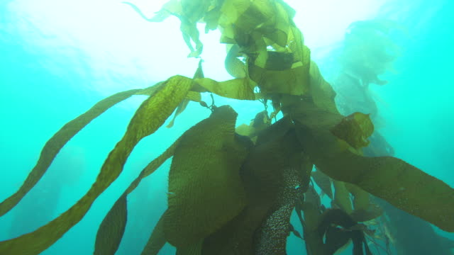 A tall kelp plant sways in the ocean's current. Available in HD.