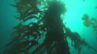 Tall kelp plants grow from the ocean floor. Available in HD.