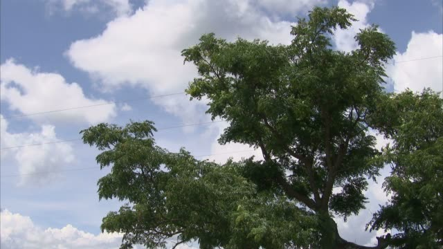 Tall, leafy tree branches flutter in the breeze below a cloudy blue sky. Available in HD.