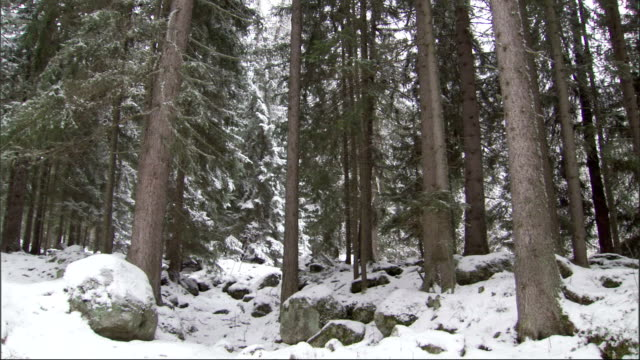 Tall pine trees tower over snow-covered rocks. Available in HD.