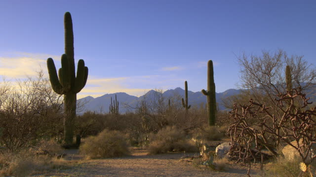 Tall Saguraro cactus with sage brush and colorful sky in desert - zoom in