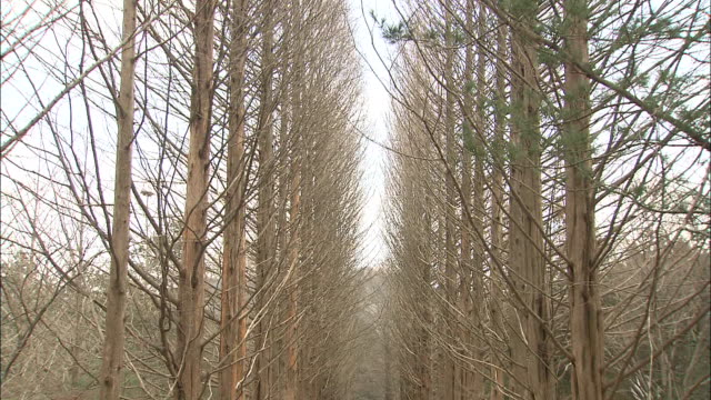 Tall, slender metasequoias line a pathway in Namiseom, Republic of Korea.