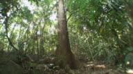 WS TU LA Tall Tree in Jungle / Similan Islands, Thailand