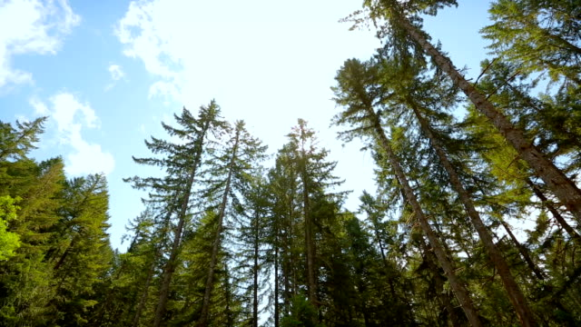 Tall trees in the forests of the Pacific Northwest, USA