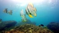 Tallfin Batfish (Platax Scelarcis) aka Longfin Spadefish shoal, Phi Phi, Thailand
